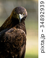 イヌワシ ニホンイヌワシ 猛禽類の写真 34892939