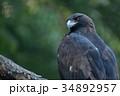 イヌワシ ニホンイヌワシ 猛禽類の写真 34892957