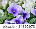 パンジー 三色菫 花の写真 34892973