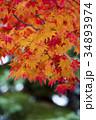 紅葉 もみじ 楓の写真 34893974