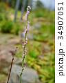 花 ネジバナ モジズリの写真 34907051