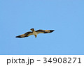 鳥 猛禽類 飛ぶの写真 34908271