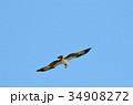 鳥 猛禽類 飛ぶの写真 34908272