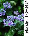 紫陽花 花 植物の写真 34908617