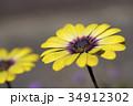 オステオスペルマム アフリカンデージー デージーの写真 34912302