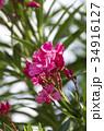キョウチクトウ 花 植物の写真 34916127