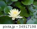 蓮 花 白の写真 34917198