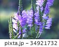 花 カクトラノオ ハナトラノオの写真 34921732