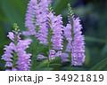 花 カクトラノオ ハナトラノオの写真 34921819