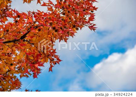 三重県民の森 赤いフウの木 フウの実 34924224
