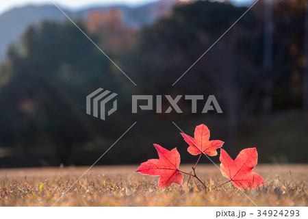 三重県民の森 赤いフウの木 フウの葉 34924293