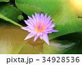 きれい 綺麗 ハスの写真 34928536