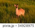 春国岱の鹿 34928975