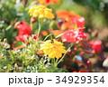 花 マリーゴールド 黄色の写真 34929354