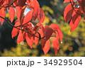 ハナミズキ 植物 葉の写真 34929504