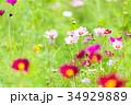 コスモス 花 花畑の写真 34929889