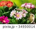 園芸 ガーベラの花    34930014