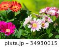 園芸 ガーベラの花 34930015