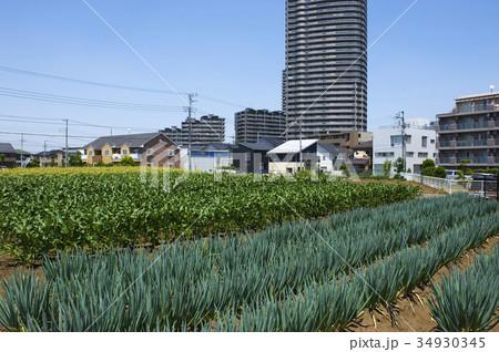 近郊農業の写真素材 [34930345] - PIXTA