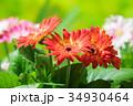 園芸 ガーベラの花     34930464
