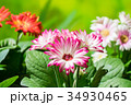 園芸 ガーベラの花     34930465
