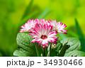 園芸 ガーベラの花     34930466