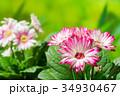 園芸 ガーベラの花     34930467