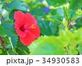 ハイビスカスの花 34930583