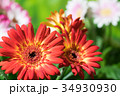 園芸 ガーベラの花       34930930
