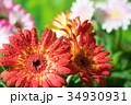 園芸 ガーベラの花       34930931