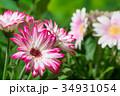 園芸 ガーベラの花       34931054