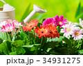 園芸 ガーベラの花     34931275
