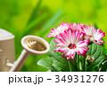 園芸 ガーベラの花     34931276