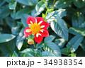 花 ダリア テンジクボタンの写真 34938354