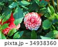 花 ダリア テンジクボタンの写真 34938360