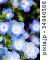 花 ネモフィラ 背景の写真 34940566