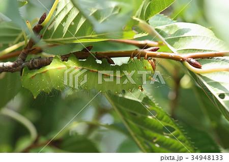 生き物 昆虫 オオミズアオ、とてもきれいな青虫。公園のサクラの木で無事最終齢まで育ったようです。 34948133