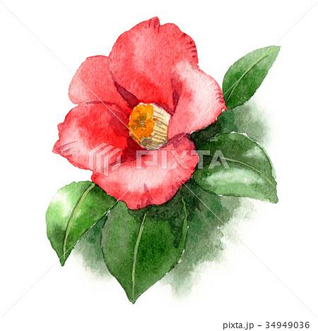 水彩で描いた赤い椿 34949036