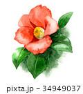 椿 花 植物のイラスト 34949037