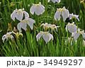 菖蒲 花菖蒲 花の写真 34949297