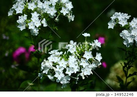 フロックス 白い花 34952246