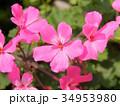 ピンクのゼラニウム 34953980