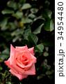 植物 花 薔薇の写真 34954480