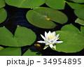 蓮 白 花の写真 34954895