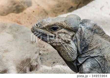 Iguana  34955964