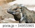 イグアナ は虫類 ハ虫類の写真 34955965