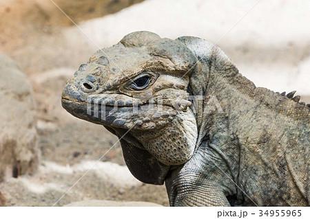 Iguana  34955965