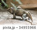 イグアナ は虫類 ハ虫類の写真 34955966