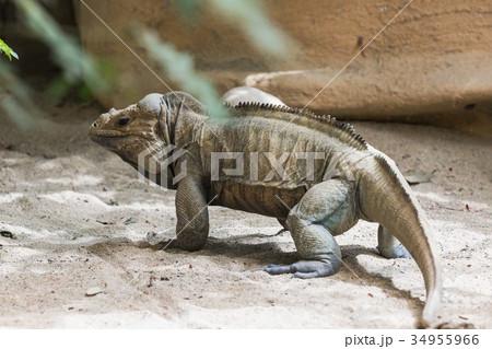 Iguana  34955966