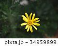 ユリオプスデージー 花 植物の写真 34959899